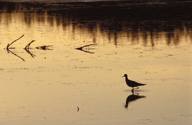 Yellowlegs At Sunset