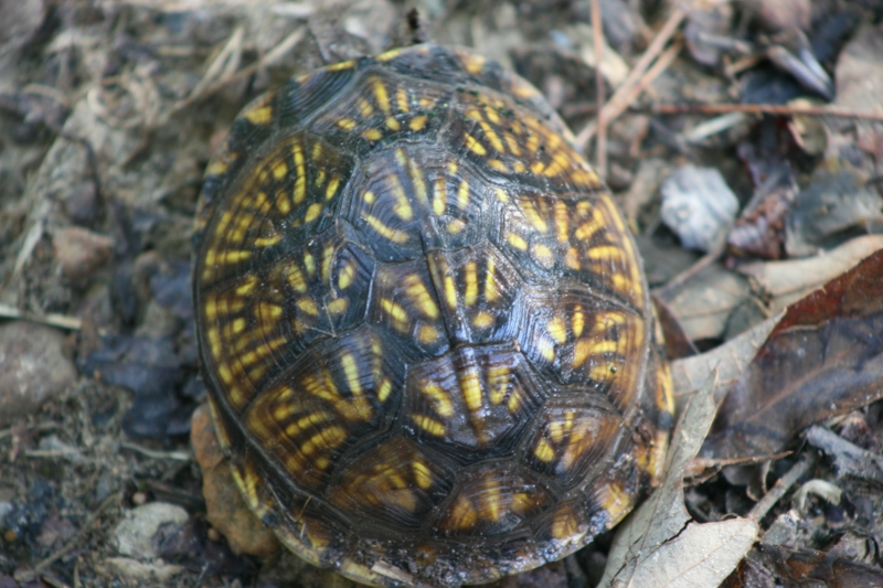 Beautiful 3 Toed Box Turtle