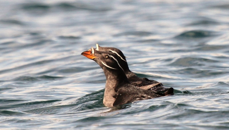 A Pair Of Rhinoceros Auklets