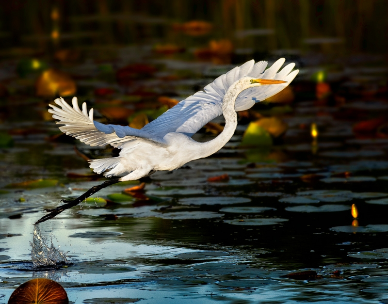 Egret At Takeoff