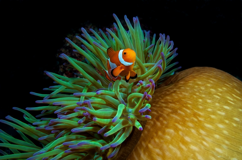 Percula Clown And Anemone