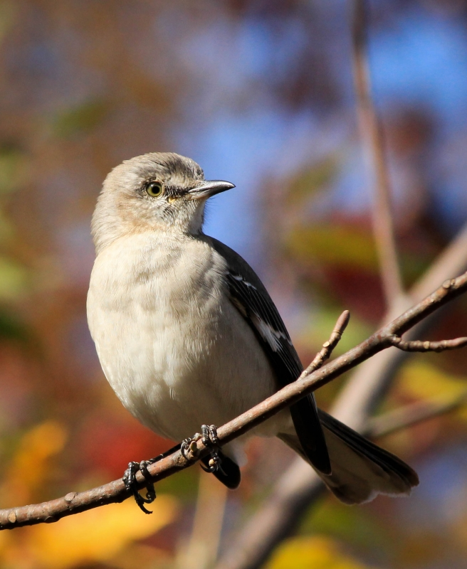 Mockingbird Limb