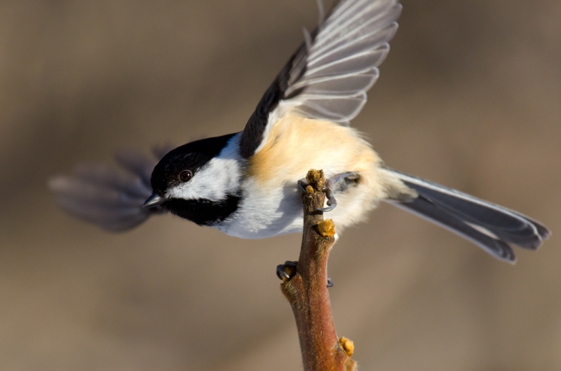 Chickadee Takeoff