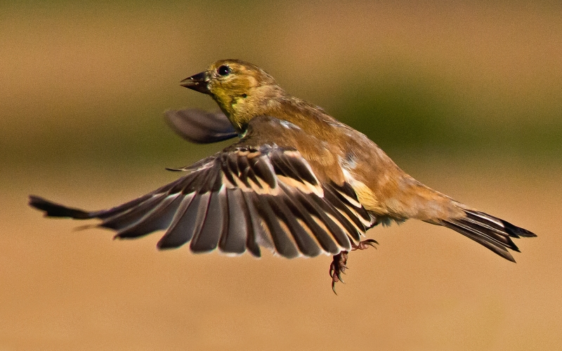 The Flight Of An American Goldfinch
