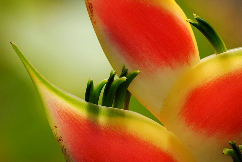 Lobster Claw Flower