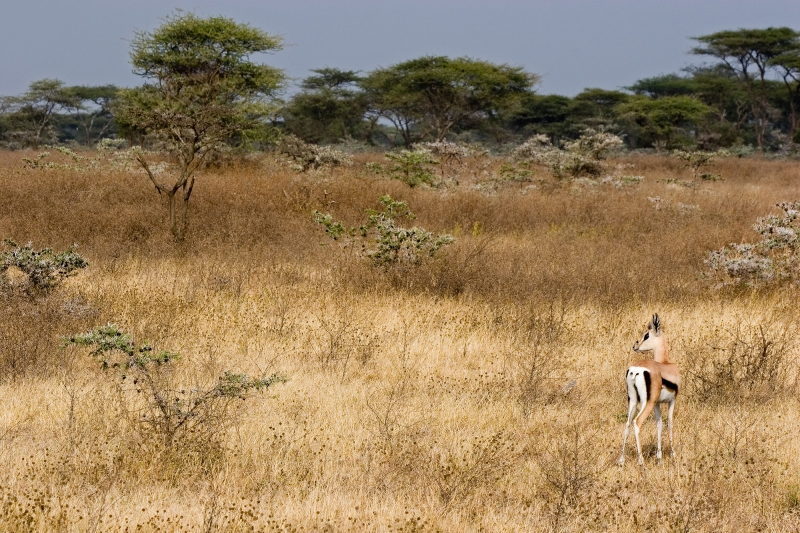 Grants Gazelle In Serengeti National Park
