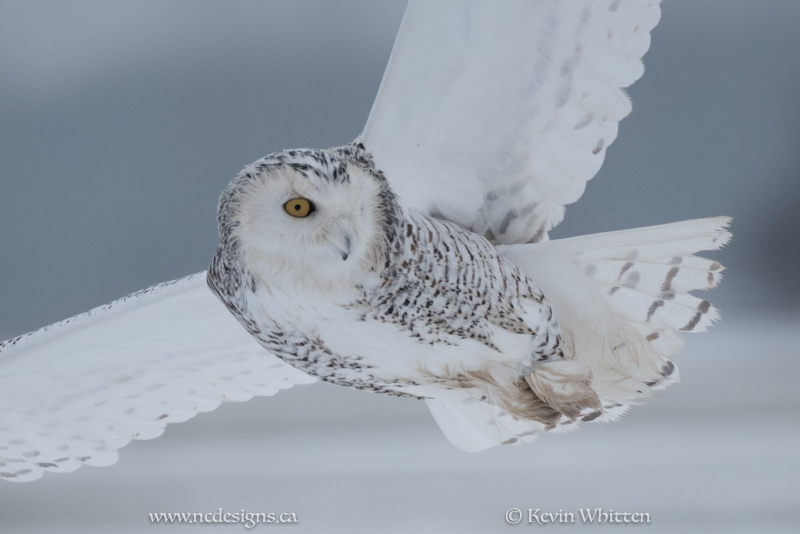 Snowy Owl Keeping An Eye On The Prey