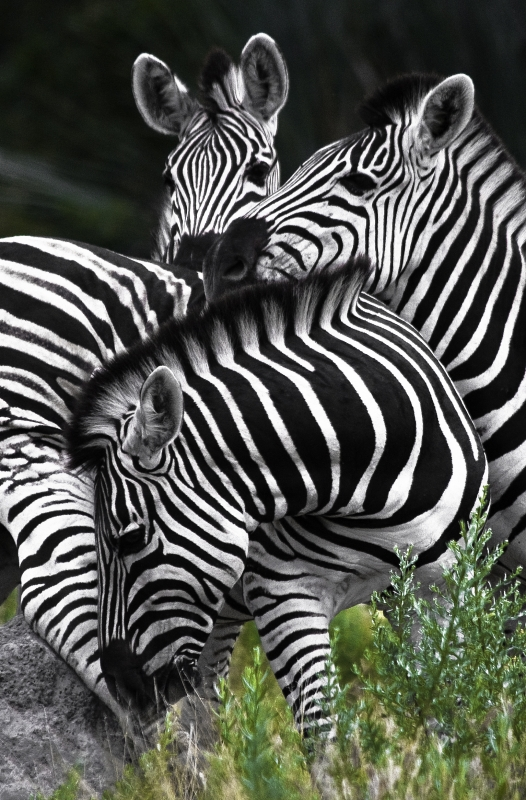 Playful Burchell's Zebras