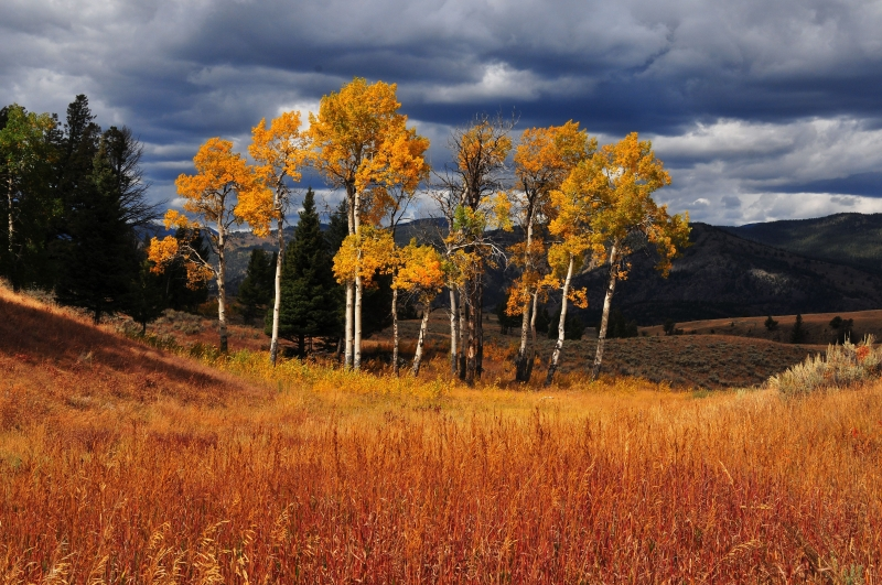 Blacktail Aspens