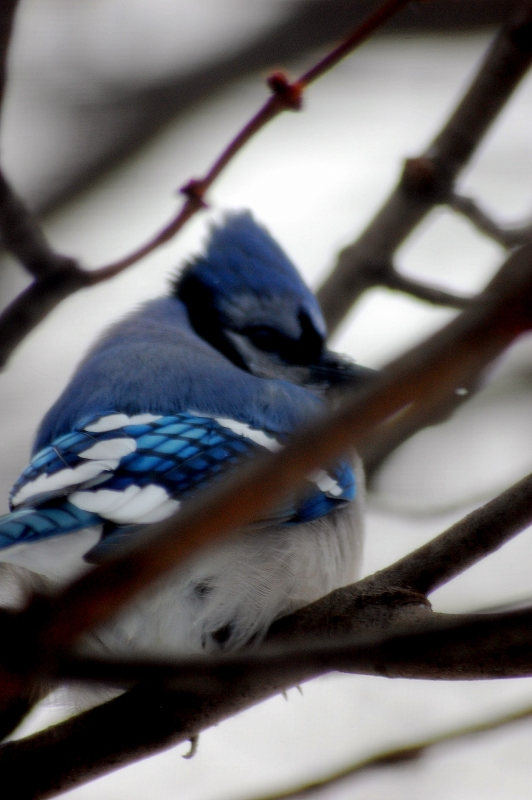 Watchful Bluejay