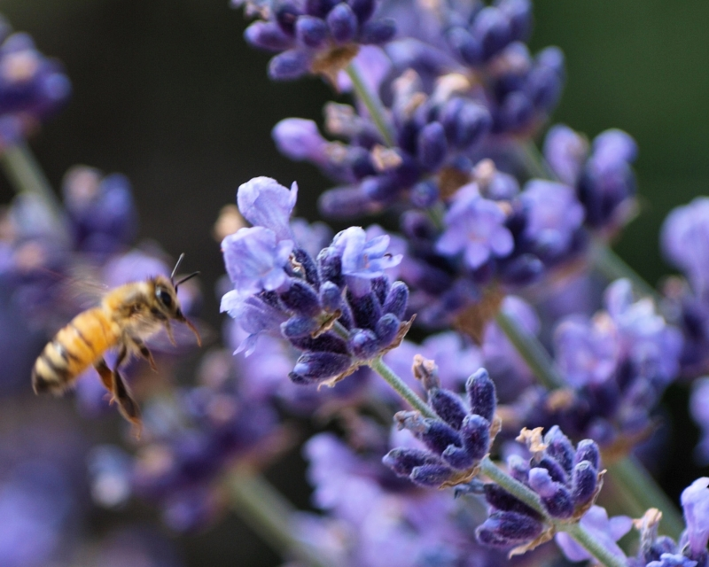 Bee Closing In On Lavendar