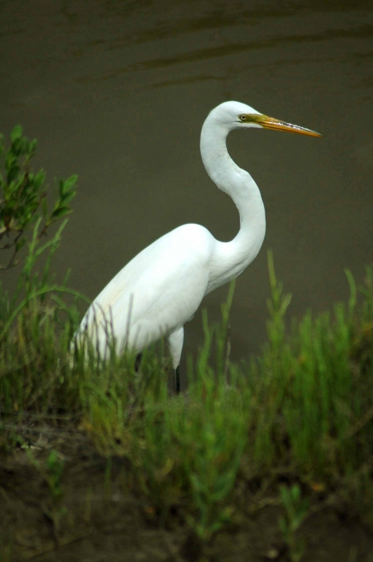 Egret Fishing 1