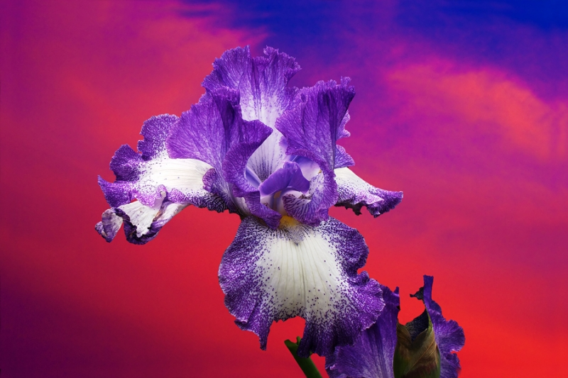 Bearded Iris Alpenglow