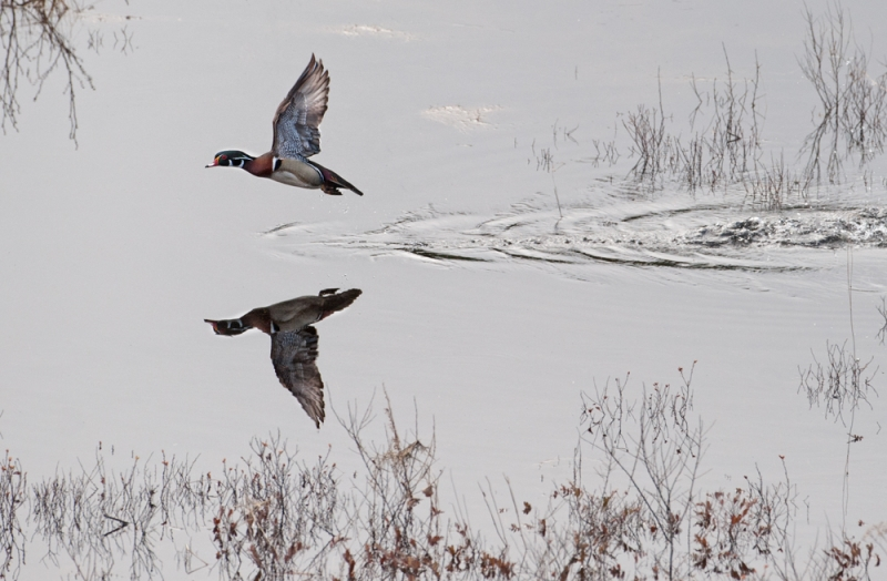 Wood Duck Flight