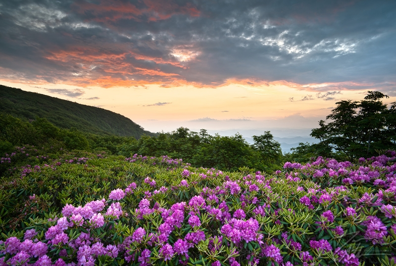 Craggy Blooms – Rhododendron At Sunset