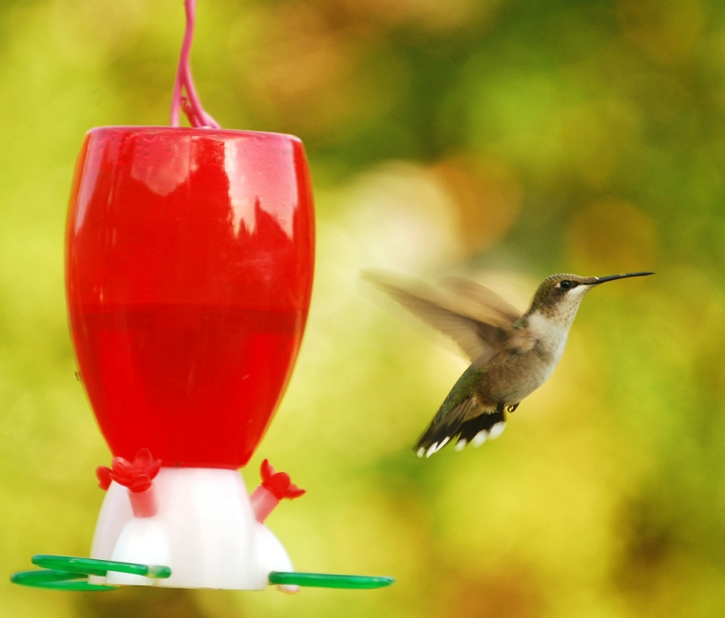Hummingbird South