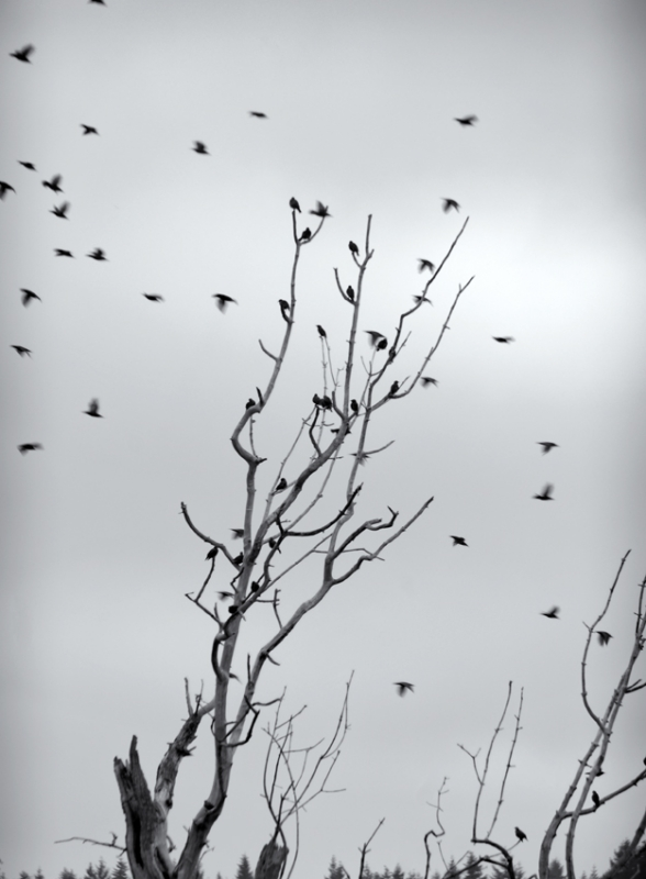 Starlings In December
