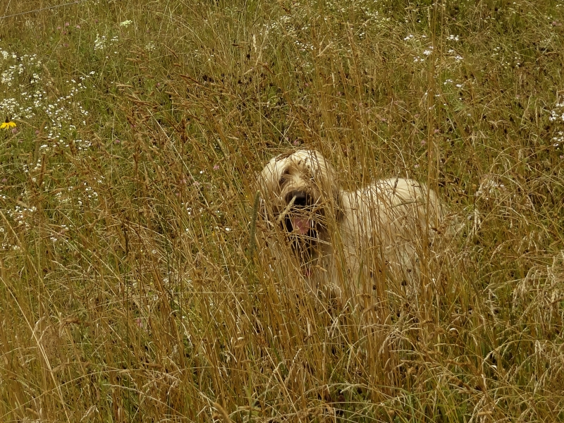 A Briard In The Hay