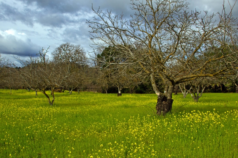 Mustards In The Orchard