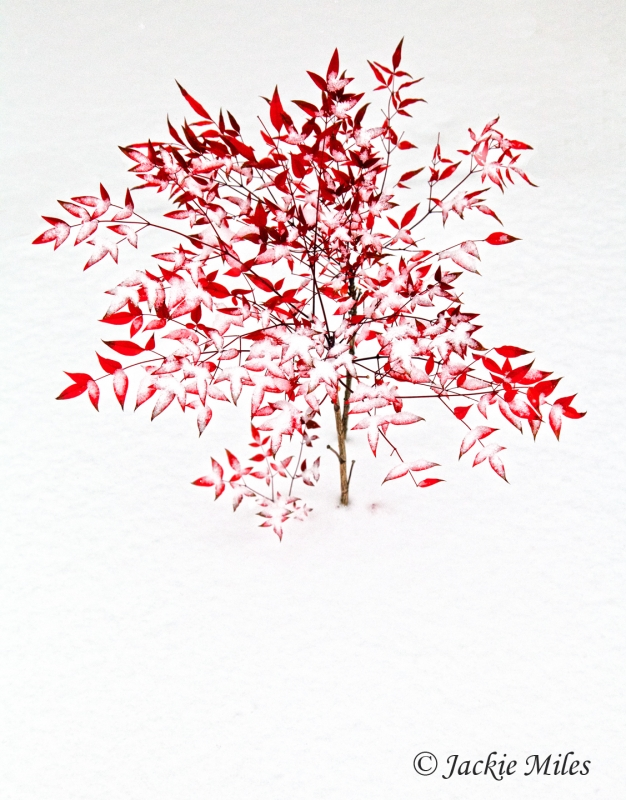 Small Red Tree In Snow