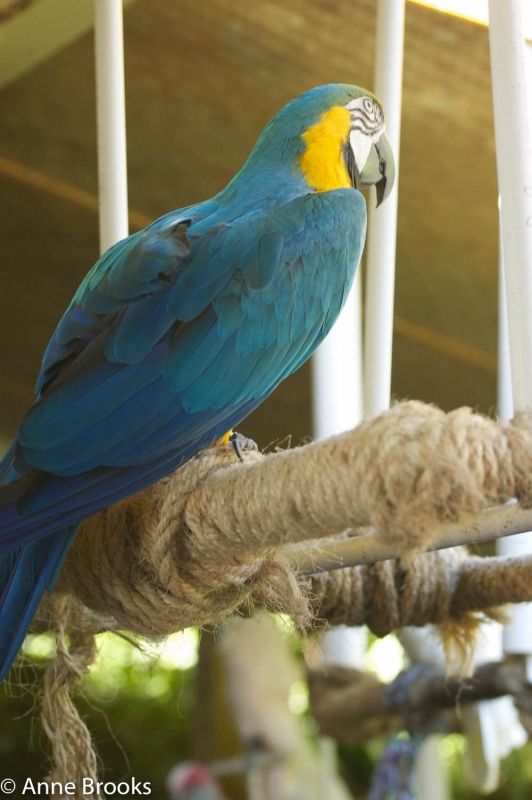 Parrot Of The Caribbean