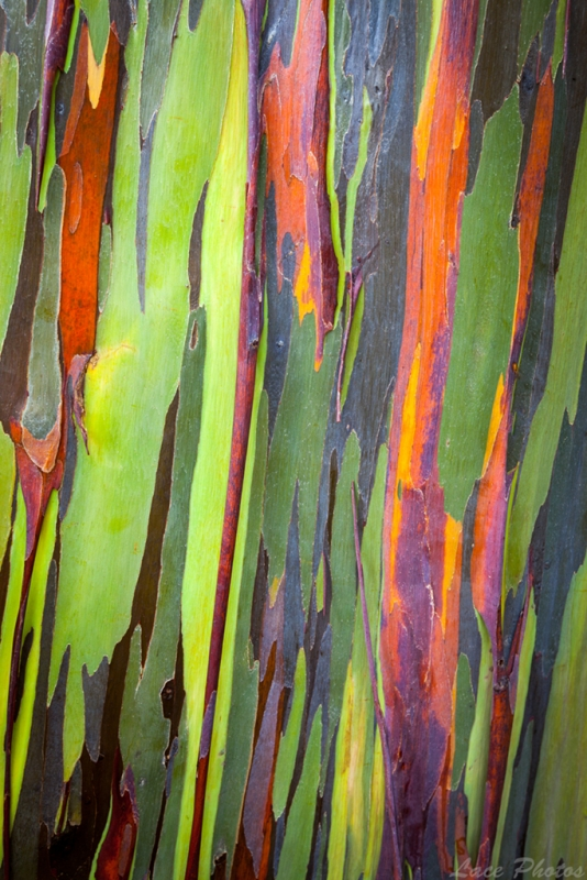 Rainbow Eucalyptus Bark