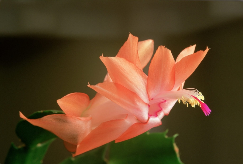Christmas Cactus Bloom
