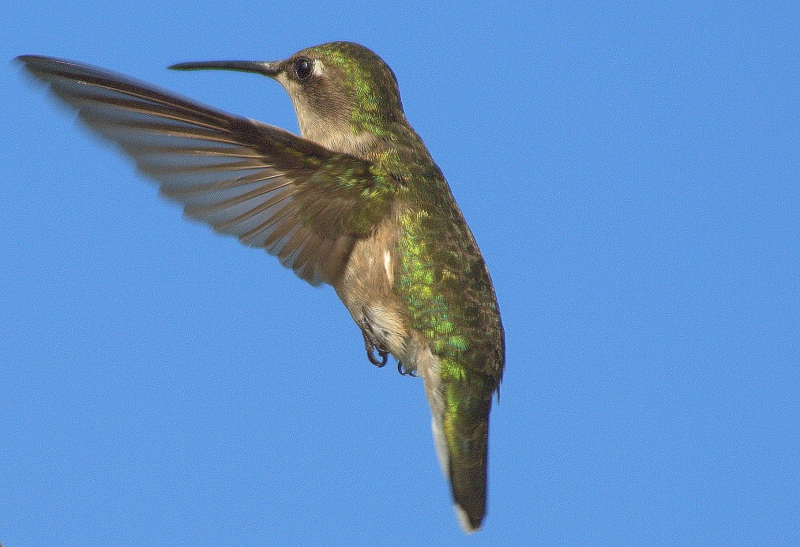 Ruby Throated Hummingbird 2
