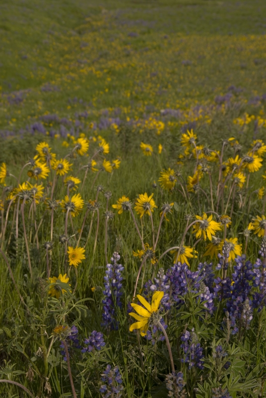 Arrowleaf And Lupine