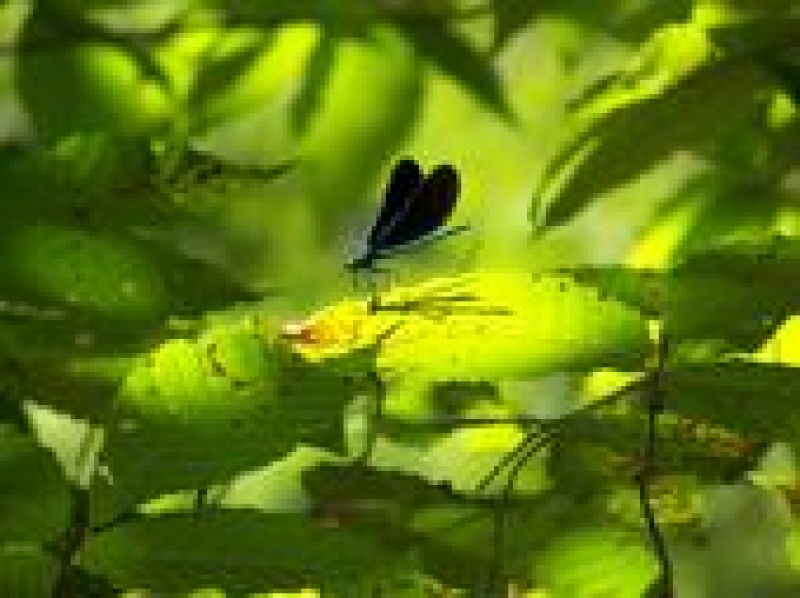 Dragonfly In Hocking Hills