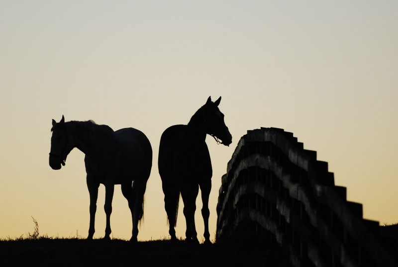 Silhouetted Horses, Sunrise