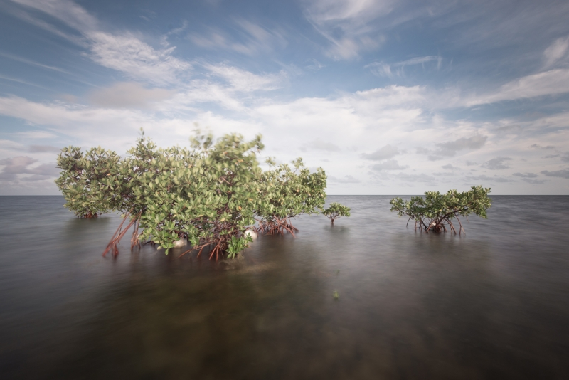 Red Mangroves #5