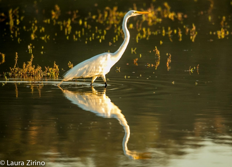 Snowy Egret At Sunset