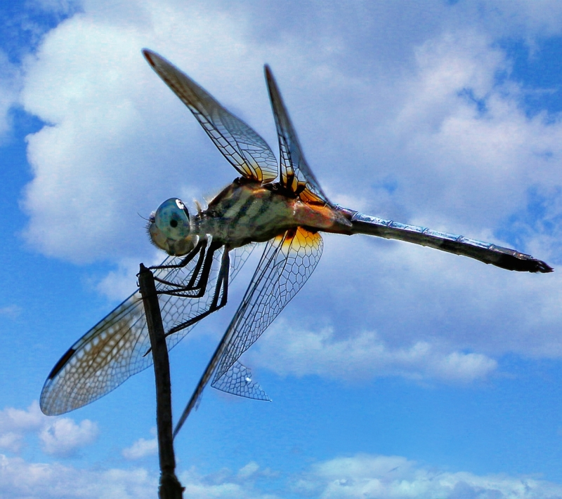 Summer Dragon Fly