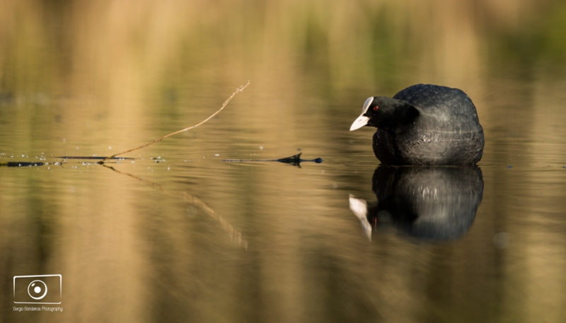 Coot On A Mirror