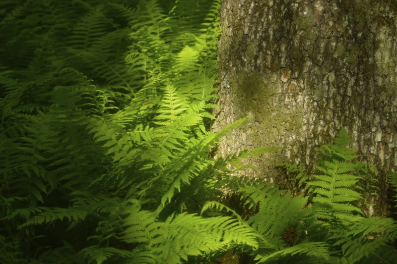 Ferns And Light In The Forest