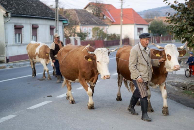 Romanian Farmer And Cows