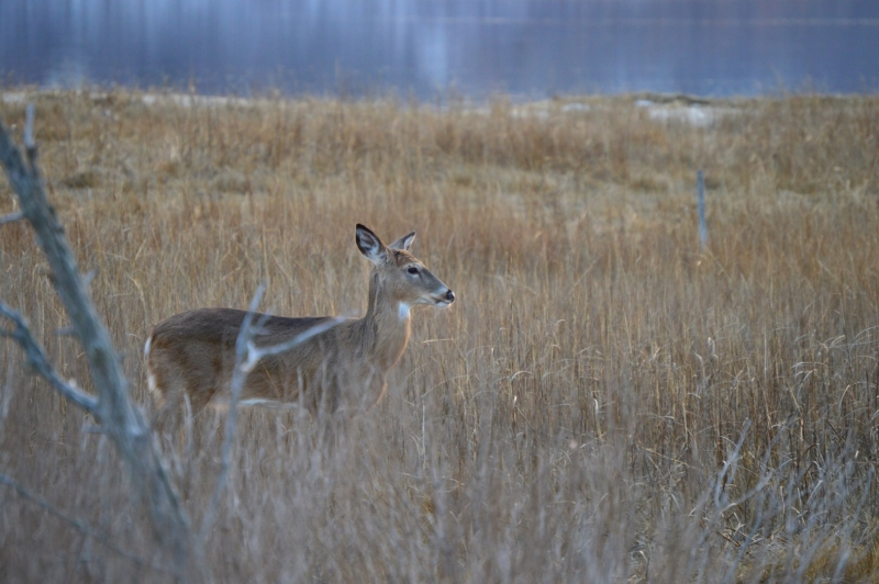 White-tailed Doe Upon The Long Island Sound