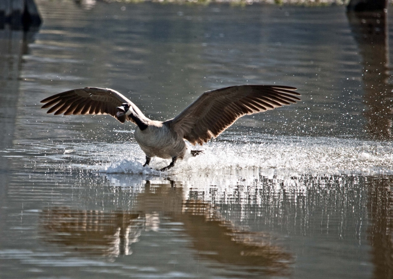 Water Skiing Goose!!