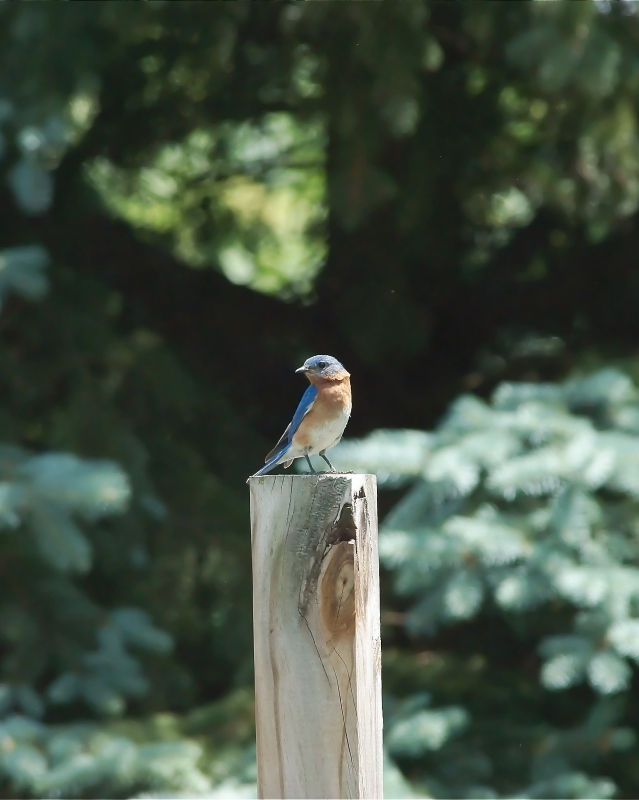 Eastern Bluebird On Pole