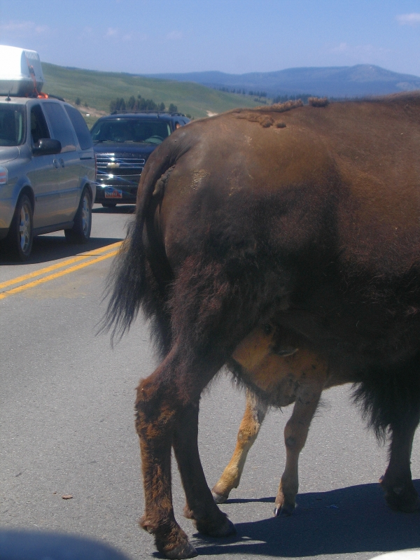 Bison Baby Feeding In Traffic
