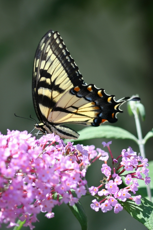 Dinner For Swallowtail