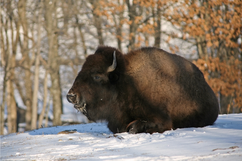 Bison In The Snow – Lone Elk Park