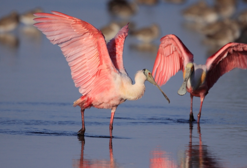 Roseate Spoonbills At Dawn