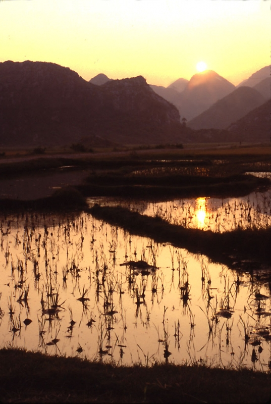 Rice Paddies In Late Afternoon