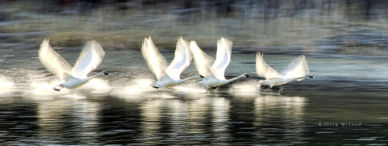 Migrating Swans