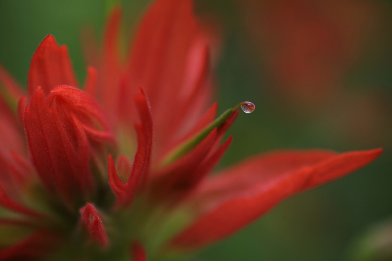 Water Drop And Flower, Mt. Ranier