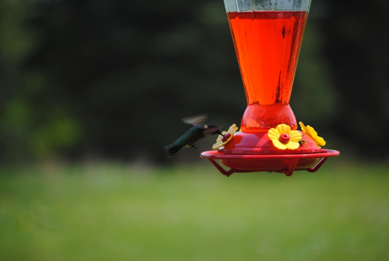 1st Humming Bird