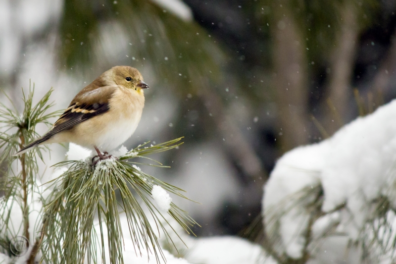 Goldfinch In Winter Garb