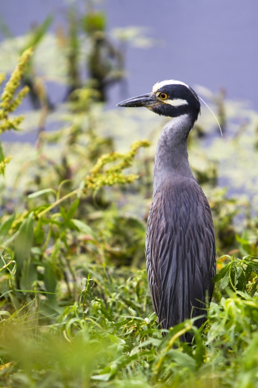 A Portrait Of A Yellow Crowned Night Heron